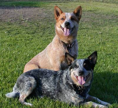 australian cattle dog vorhandene australian cattle dog welpen