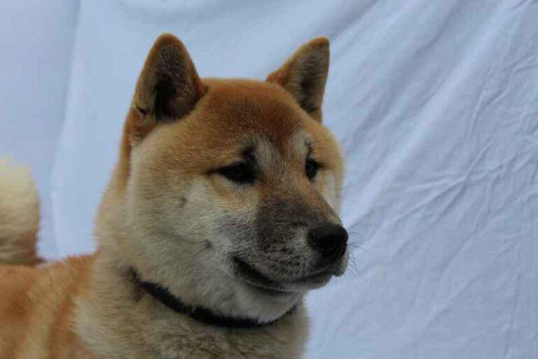 Shiba Inu Welpen zu verkaufen, Geschichte des Shiba Inu